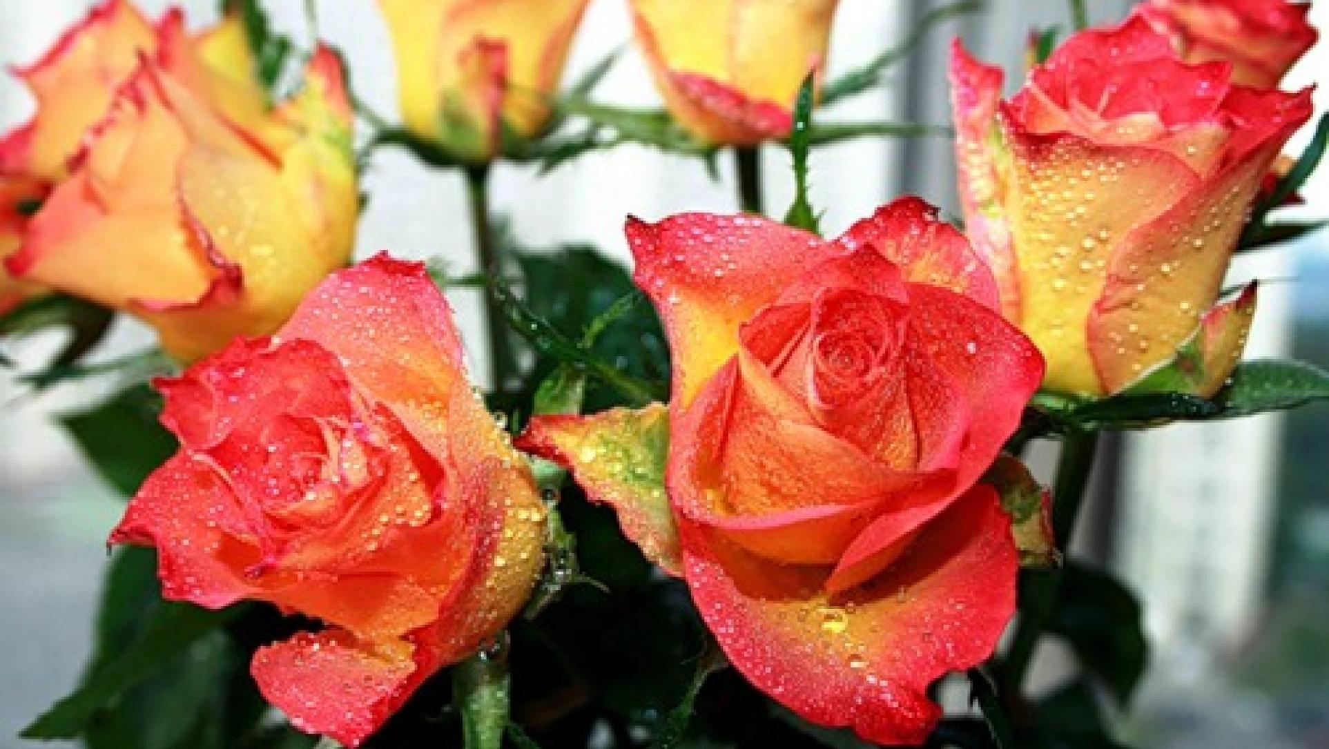 Что делать, чтобы розы дольше стояли: как сохранить розы в 83