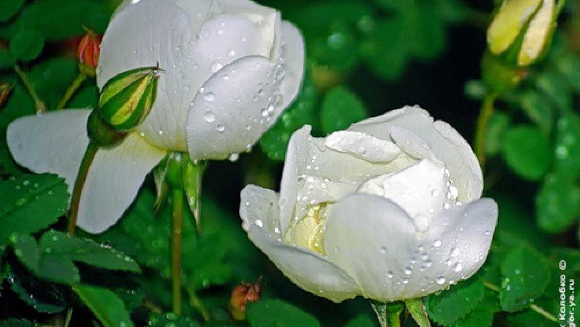 Белые розы картинки с надписью доброе утро